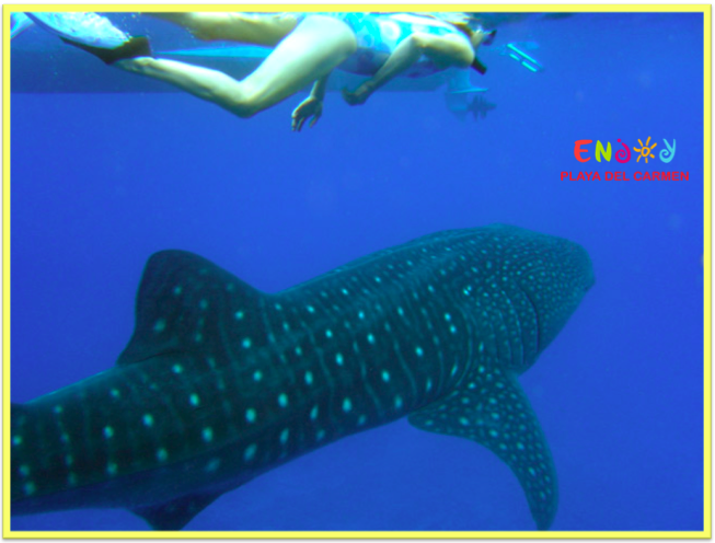 Whale Shark - Playa del Carmen ENJOY